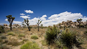 Joshua Trees Royalty Free Stock Photography