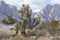 Joshua Trees Stockbild