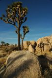 Joshua Trees. In the late afternoon sun, Joshua Tree National Park Stock Photography