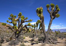 Joshua Trees Immagine Stock