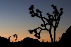 Joshua Trees Royalty Free Stock Photography