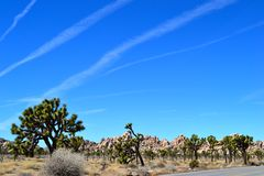 Joshua Trees. Against a bright blue sky in the desert Stock Images