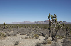 Joshua trees in Arizona. Joshua trees in the desert of Arizona near the grand Canyon Stock Photo