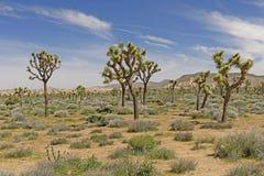 Joshua Trees auf den Wüsten-Ebenen Lizenzfreie Stockbilder