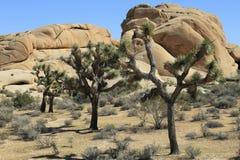 Joshua Trees av jumbon vaggar framme arkivfoto