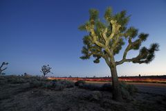 Joshua Trees bij schemering in Joshua Tree National Park, Californië stock afbeeldingen