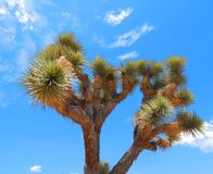 Joshua Trees in the California Desert Stock Photos