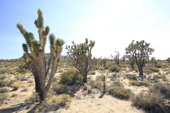 Joshua trees in the California Deserts. Stock Images