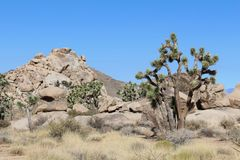 Joshua Trees de la Californie Images stock