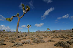Joshua trees in death valley. Joshua trees in the Panamint Mountains of Death Valley National Park Stock Image