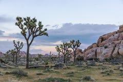 Joshua Trees, der in der Wüste - Joshua Tree National Park wächst, Stockfotografie