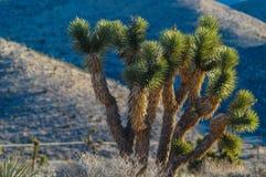 Joshua Trees in der roten Felsen-Schlucht, Nanovolt Stockfotografie
