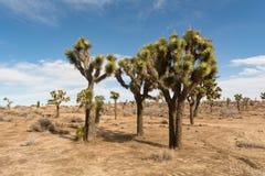 Joshua Trees in der Wüste von Kalifornien Lizenzfreies Stockfoto