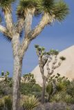 Joshua trees in desert Stock Photography