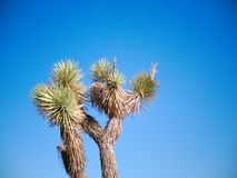 Joshua trees in desert landscape with blue skies. Joshua trees in a desert landscape with blue skies stock photos