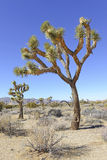 Joshua Trees in a Desert Landscape, California Stock Photography