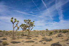 Joshua Trees in Desert Royalty Free Stock Photos