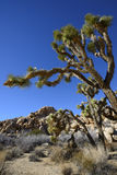 Joshua trees in the desert Royalty Free Stock Images