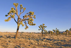 Joshua Trees in een Woestijnlandschap, Californië Stock Afbeelding
