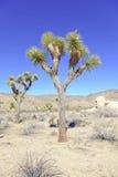 Joshua Trees in een Woestijnlandschap, Californië Royalty-vrije Stock Fotografie