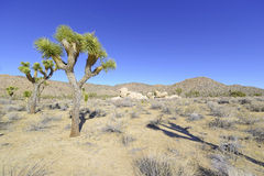 Joshua Trees in een Woestijnlandschap, Californië Stock Foto