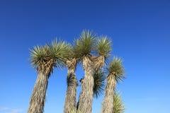Joshua Trees em Joshua Tree National Park califórnia imagem de stock