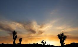 Joshua Trees en silhouette contre le coucher du soleil Photo stock