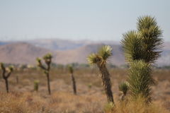 Joshua trees growing in the hot desert. Joshua trees growing in the hot summertime in the Mojave desert in California. A Joshua tree looks like a cactus, but it royalty free stock photography