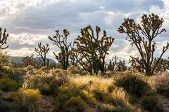 Joshua trees in the heart of Mojave National Preserve. The complicated forms of Joshua trees against the light in the heart of the Mojave National Preserve stock photo