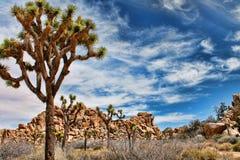 Joshua Trees i öknen Arkivfoto