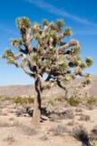 Joshua Trees i Joshua Tree National Park, USA Fotografering för Bildbyråer