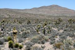 Joshua Trees In Mojave Desert Stock Images