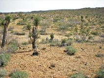 Joshua Trees Royalty Free Stock Photo