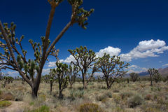 Joshua Trees in the Mojave Desert. Joshua trees at the Mojave National Preserve in California Royalty Free Stock Image