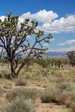 Joshua Trees in the Mojave Desert Royalty Free Stock Photo