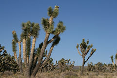 Joshua trees in Mojave Desert, California Royalty Free Stock Images