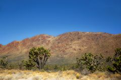 Joshua trees in the Mojave National Park in Nevada Stock Image