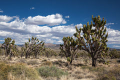 Joshua Trees Stock Photos
