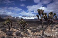Joshua Trees Near Red Rock Canyon, AZ Stock Photo