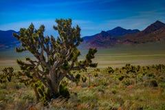 Joshua Trees Nevada Stock Photos