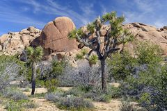 Joshua Trees onder de Woestijnrotsen Royalty-vrije Stock Foto