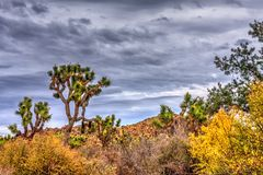 Desert Scene Under Stormy Skies. Joshua Trees and other plant life growing strong in the desert Royalty Free Stock Image
