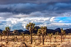 Desert Scene in Joshua Tree. Joshua Trees and other plant life growing strong in the desert under some clouds Stock Photography