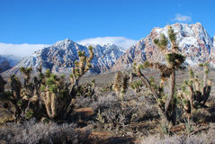 Joshua Trees in Red Rock Canyon after a winter storm. Image shows Joshua Trees (Yucca brevifolia) with the Sandstone Bluffs (part of the Red Rock National Stock Images