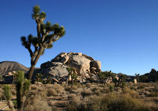 Joshua trees and rocks under a blue sky Royalty Free Stock Photo