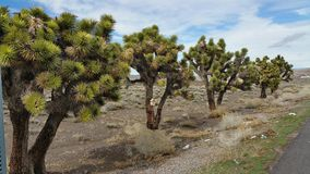 Joshua trees in a row Royalty Free Stock Image