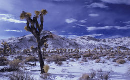Joshua Trees in Snow Royalty Free Stock Photo