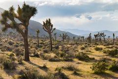 Joshua Trees som växer i öknen - Joshua Tree National Park, Fotografering för Bildbyråer
