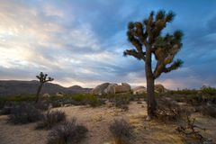 Joshua Trees at Sunrise Royalty Free Stock Photo