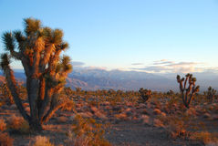 Joshua trees at sunset Stock Photo